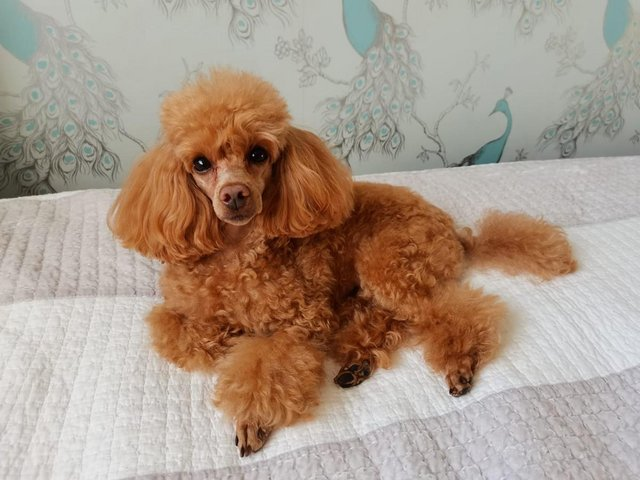 Image 2 of Stud Only Red Toy Poodle KC, DNA Clear