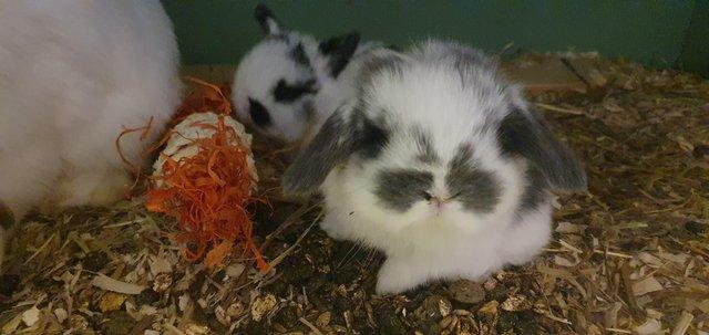 Preview of the first image of *+*Stunning pure bred mini lop rabbits to reserve *+*.