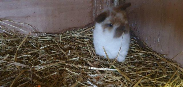 Image 2 of *+*Stunning pure bred mini lop rabbits to reserve *+*