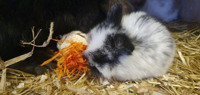 Image 4 of *+*Stunning pure bred mini lop rabbits to reserve *+*