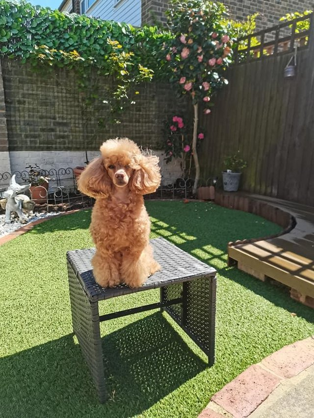 Image 3 of Stud Only Red Toy Poodle KC, DNA Clear