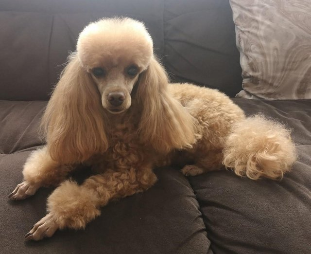 Image 4 of Stud Only Red Toy Poodle KC, DNA Clear