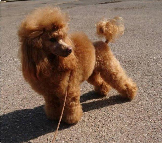 Image 5 of Stud Only Red Toy Poodle KC, DNA Clear