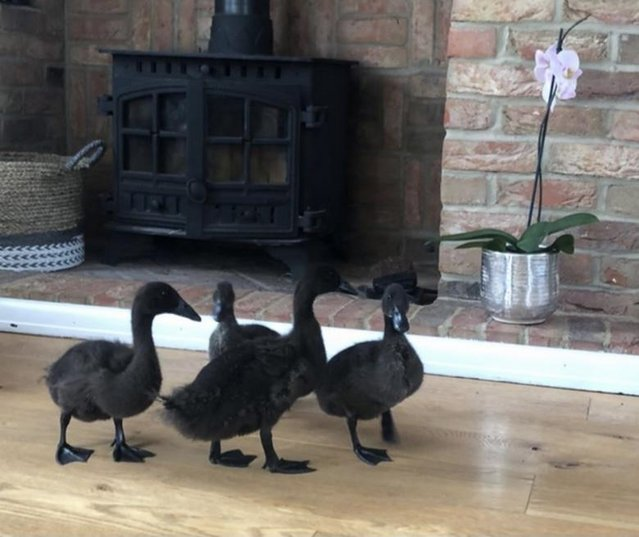 Image 2 of Pure Breed Cayuga Ducklings
