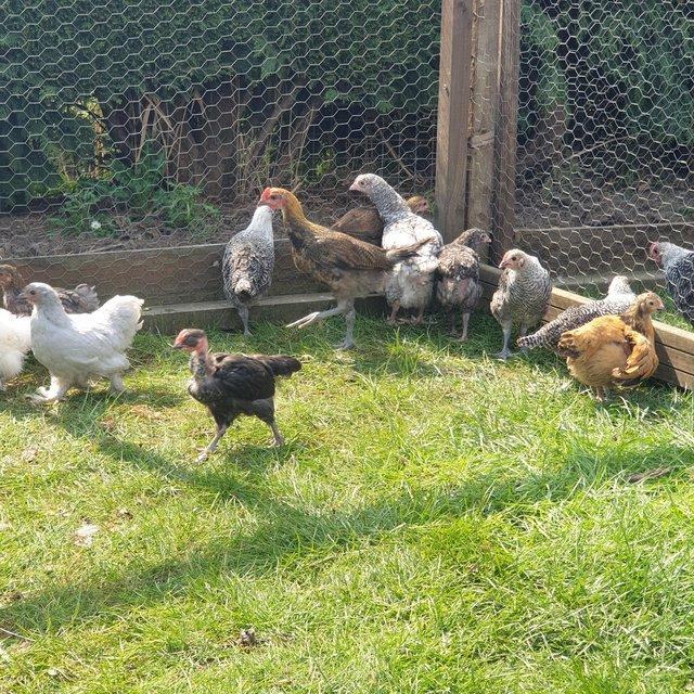Image 3 of Pure breed poultry