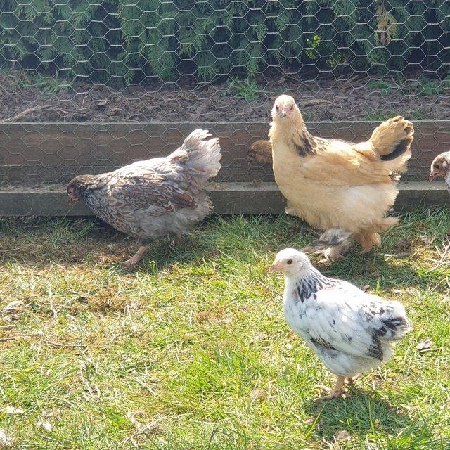 Image 4 of Pure breed poultry
