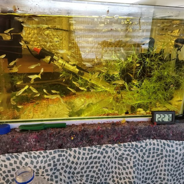 Image 2 of Guppies £1.00 each