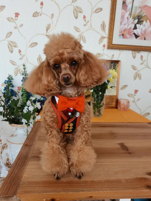 Preview of the first image of Stud Only Red Toy Poodle KC, DNA Clear.