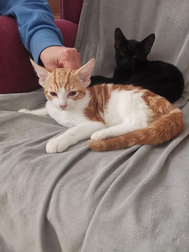 Image 15 of Adorable Ginger and Black kittens