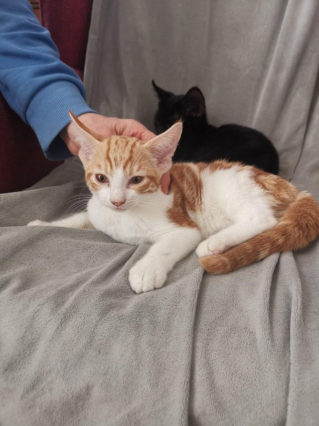 Image 18 of Adorable Ginger and Black kittens