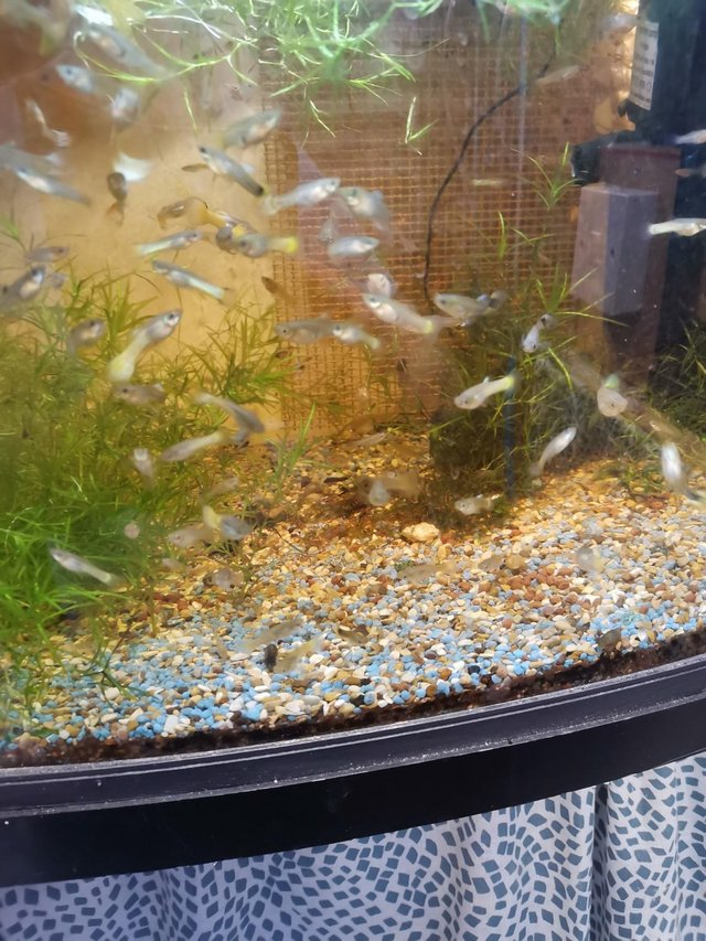 Image 3 of Guppies £1.00 each