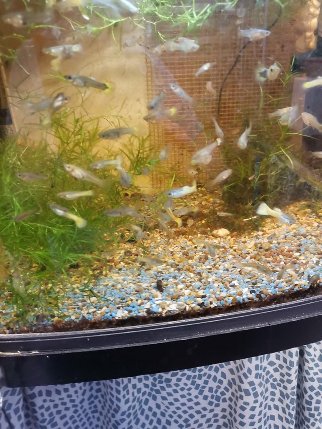 Image 4 of Guppies £1.00 each