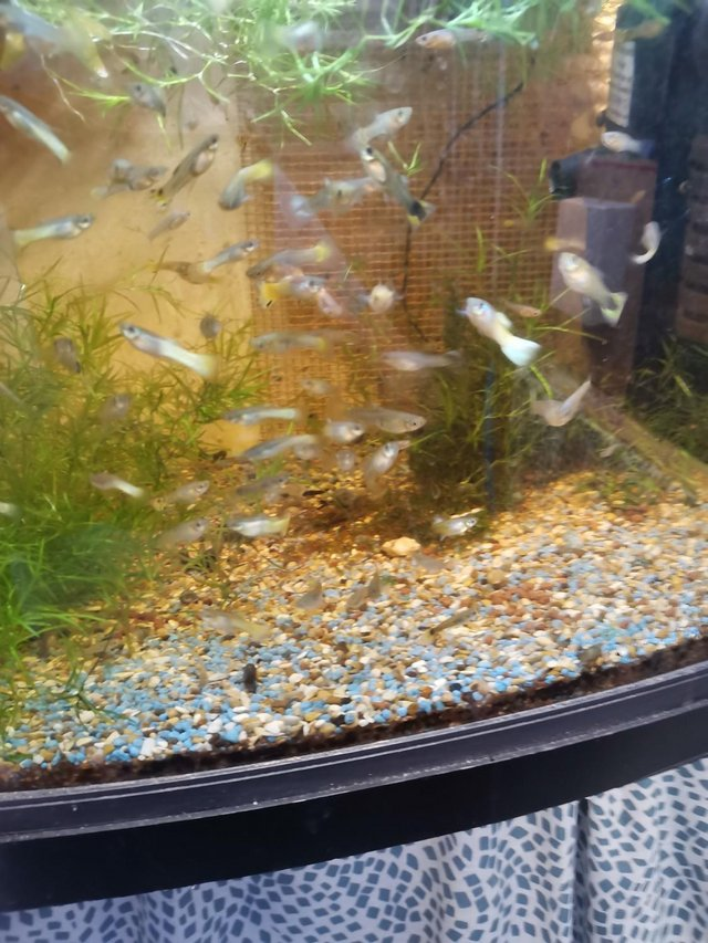 Preview of the first image of Guppies £1.00 each.