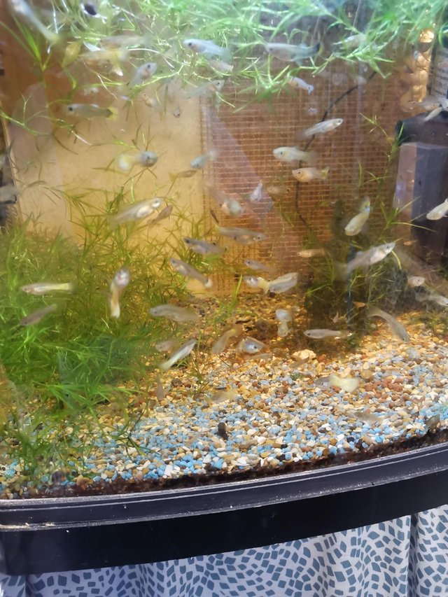 Image 5 of Guppies £1.00 each