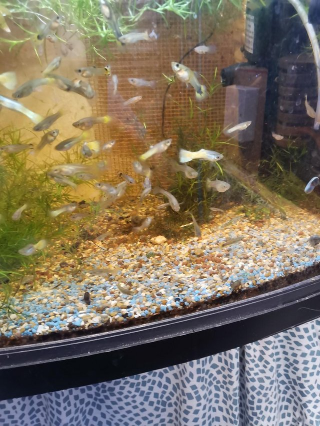 Image 6 of Guppies £1.00 each