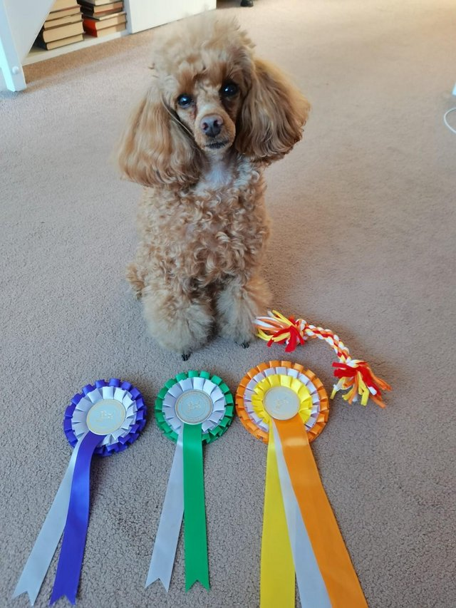Image 6 of Stud Only Red Toy Poodle KC, DNA Clear