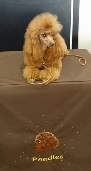 Image 7 of Stud Only Red Toy Poodle KC, DNA Clear