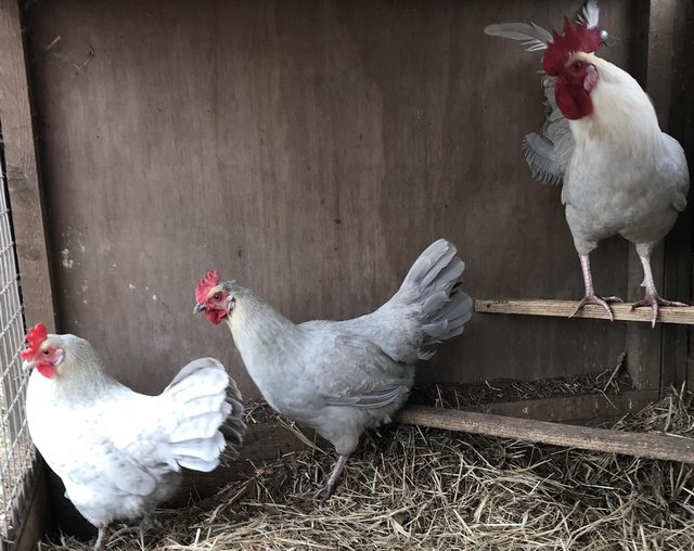 Image 5 of Pekin bantams. in Leicestershire POL15 each.