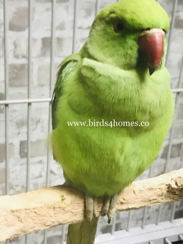 Preview of the first image of Beautiful baby Indian Ringneck Talking Parrot.