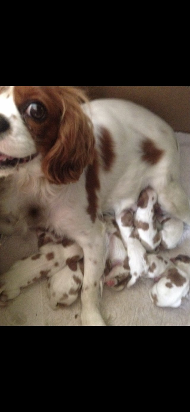 Image 24 of Extensively Health Tested Cavalier King Charles Spaniel Stud