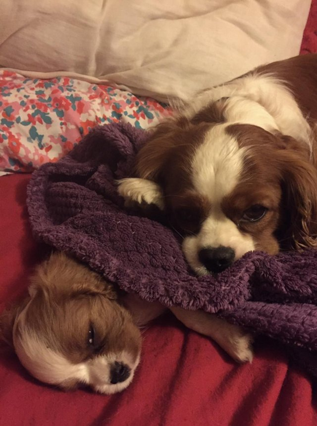 Image 25 of Extensively Health Tested Cavalier King Charles Spaniel Stud