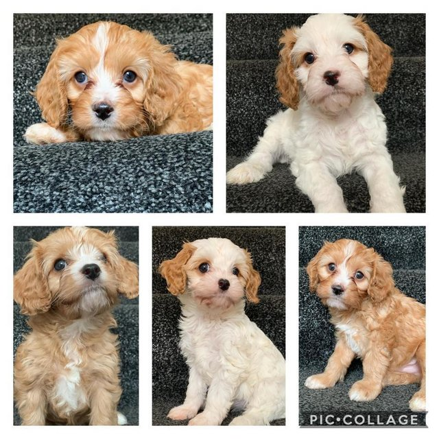Image 27 of Extensively Health Tested Cavalier King Charles Spaniel Stud