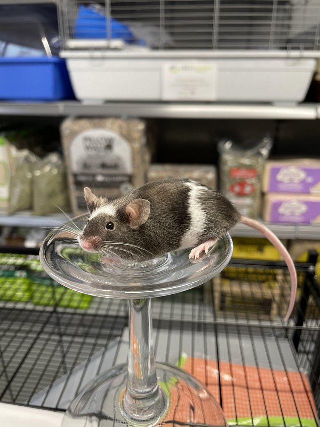 Image 6 of Own bred tame baby mice at urban exotics august 21