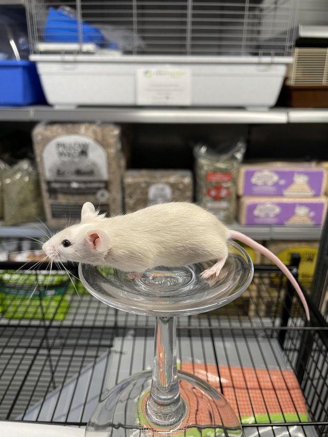 Image 7 of Own bred tame baby mice at urban exotics august 21