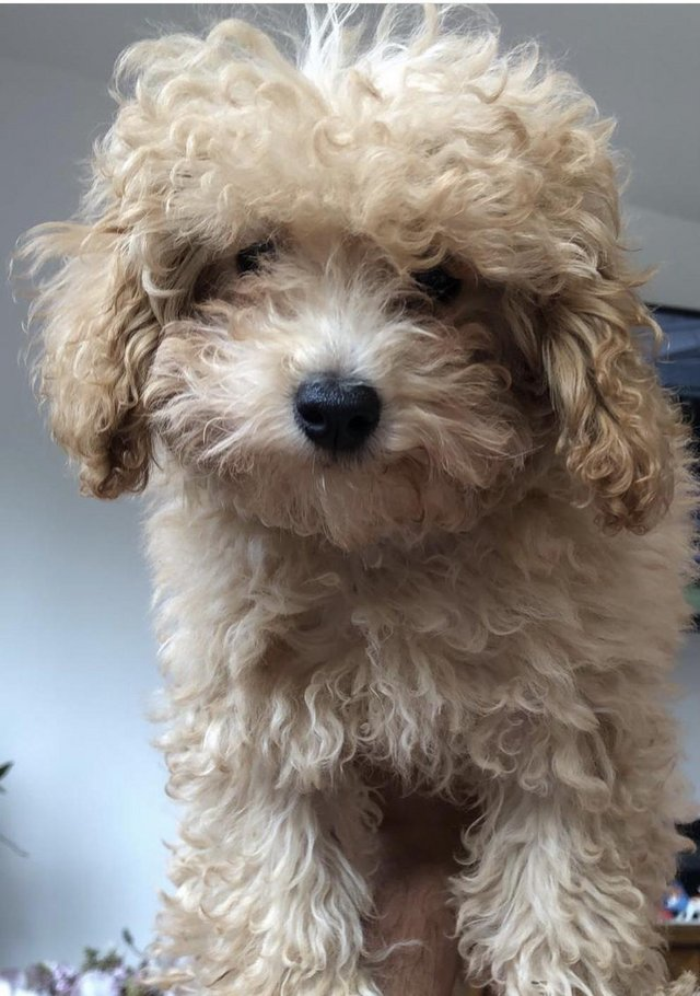 Image 2 of Super Tiny toy poodle puppies.