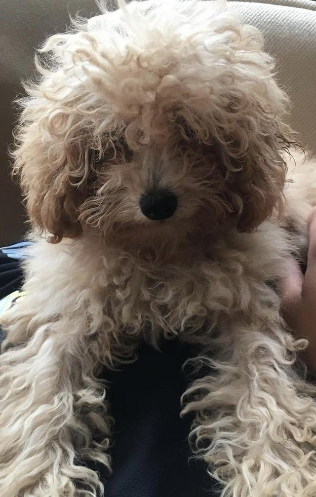 Image 4 of Super Tiny toy poodle puppies.