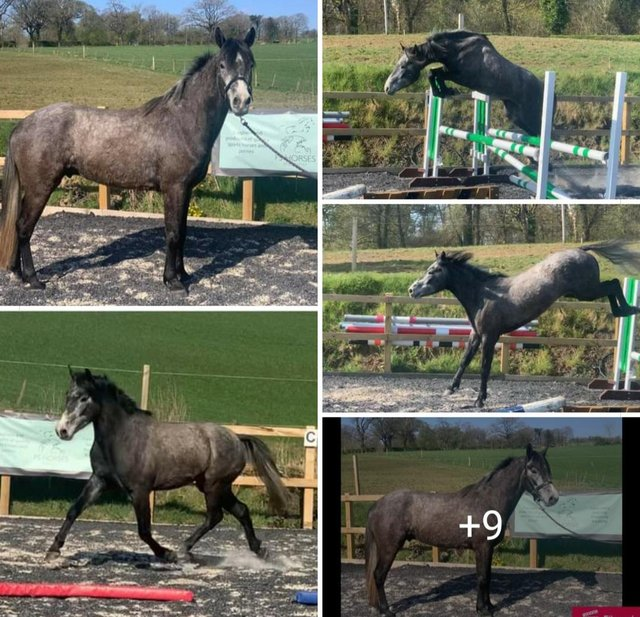 Preview of the first image of Talented 4 yrs connemara REDUCED.
