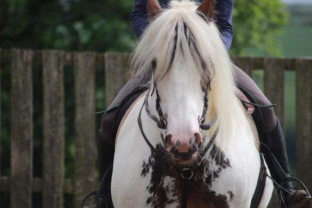 Image 2 of 16.1 Confidence Giver FOR SHARE TO STAY AT CURRENT YARD