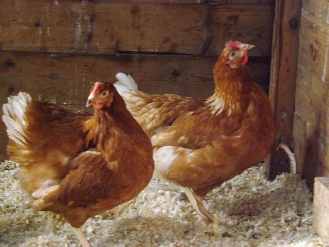 Preview of the first image of Warren and Blacktail Pullets.