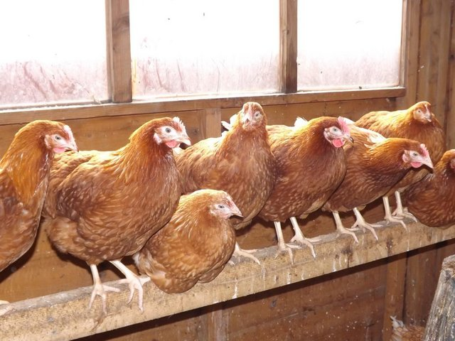 Image 3 of Warren and Blacktail Pullets
