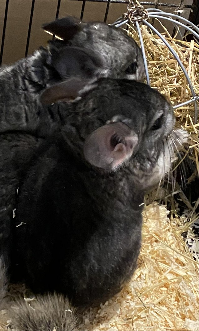 Preview of the first image of baby chinchillas.