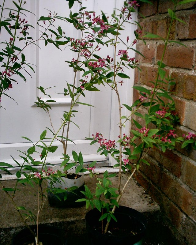 Preview of the first image of PINk shrub.