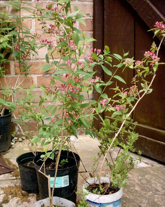 Image 2 of PINk shrub