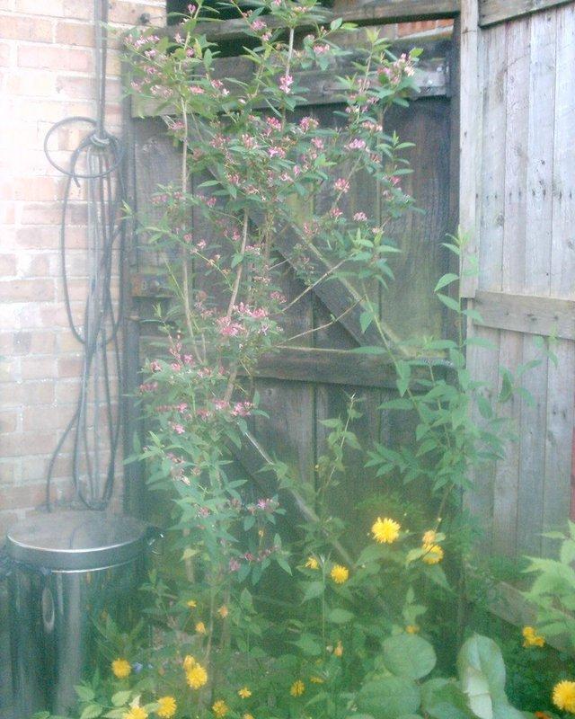 Image 3 of PINk shrub