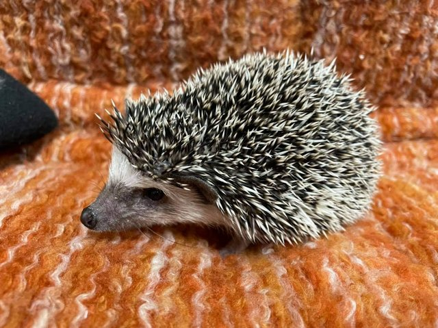 Preview of the first image of Cute baby tame African Pygmy hedgehogs at urban exotics.