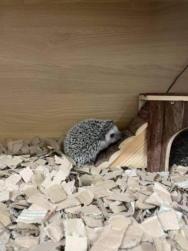 Image 2 of Cute baby tame African Pygmy hedgehogs at urban exotics