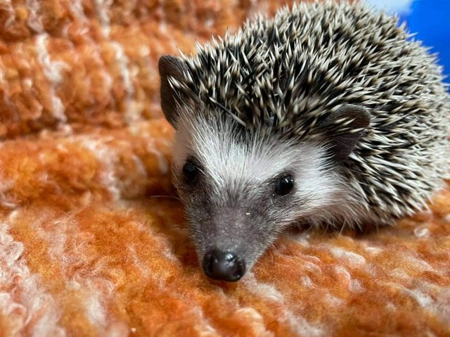 Image 3 of Cute baby tame African Pygmy hedgehogs at urban exotics