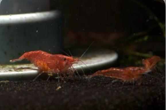 Preview of the first image of Cherry shrimp for sale £1.50 each.