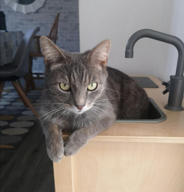 Image 2 of 3 year old very friendly grey tabby cat