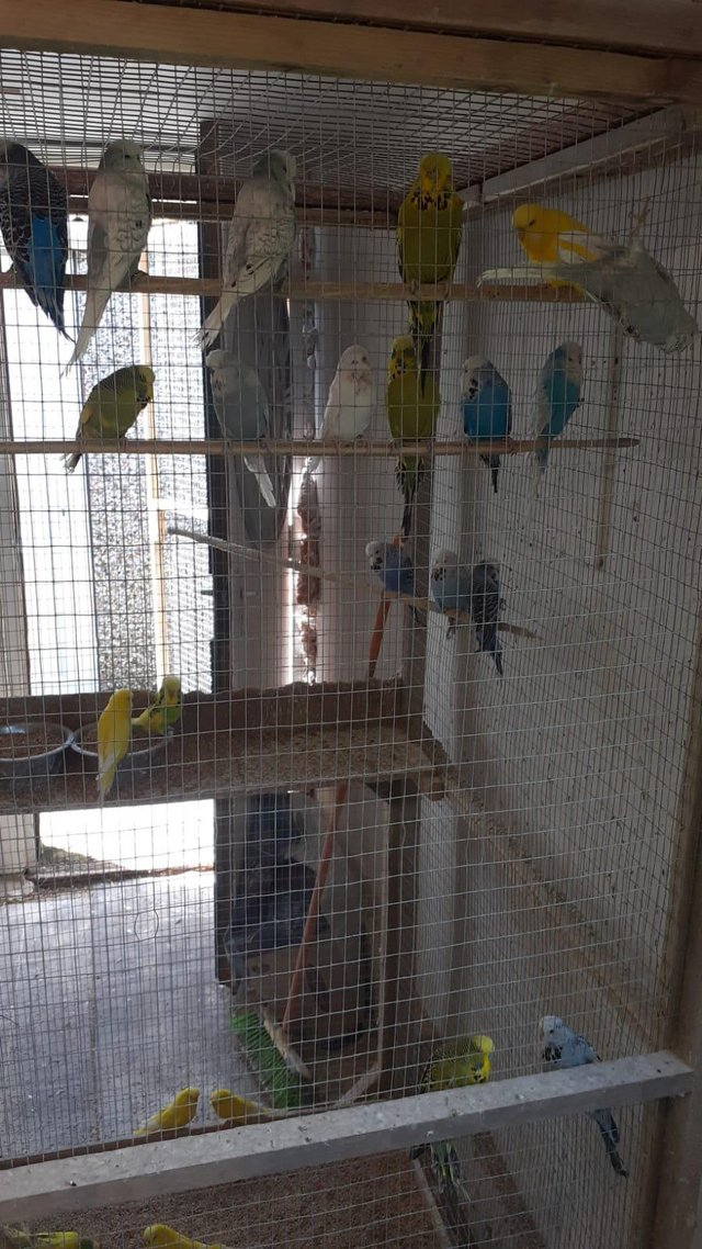 Preview of the first image of Budgies, adult and young available, various colours.