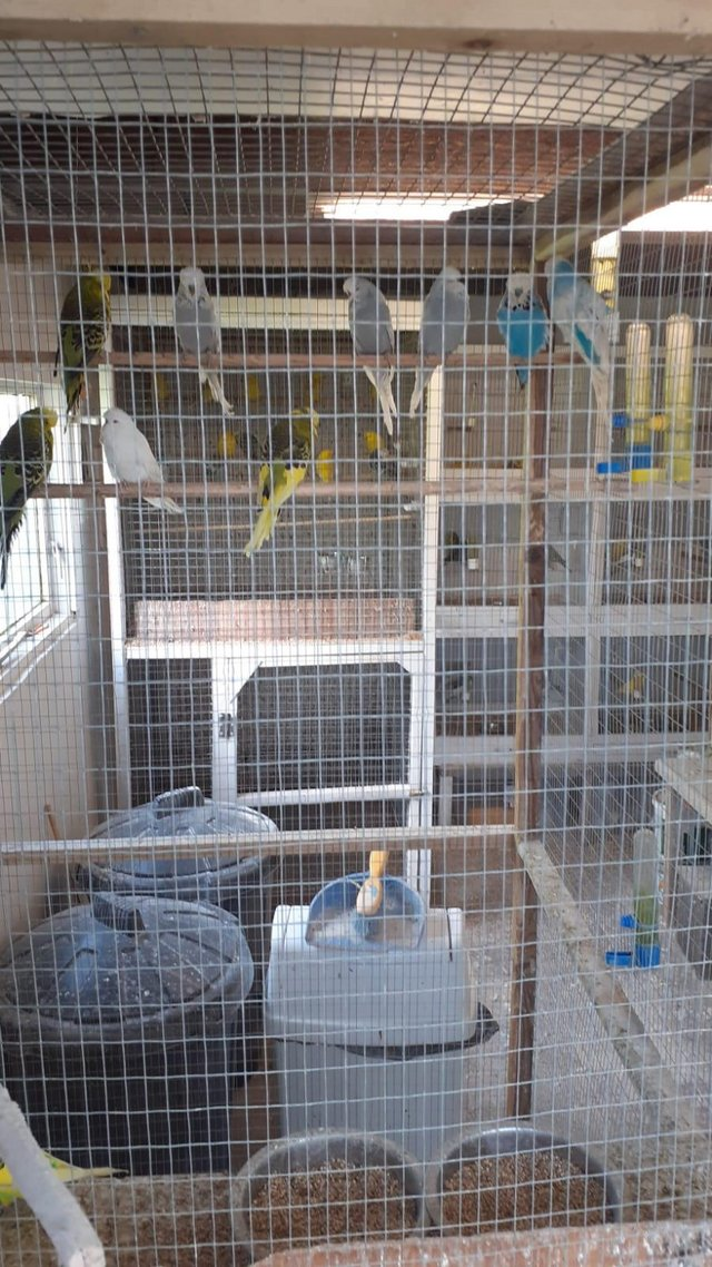Image 2 of Budgies, adult and young available, various colours