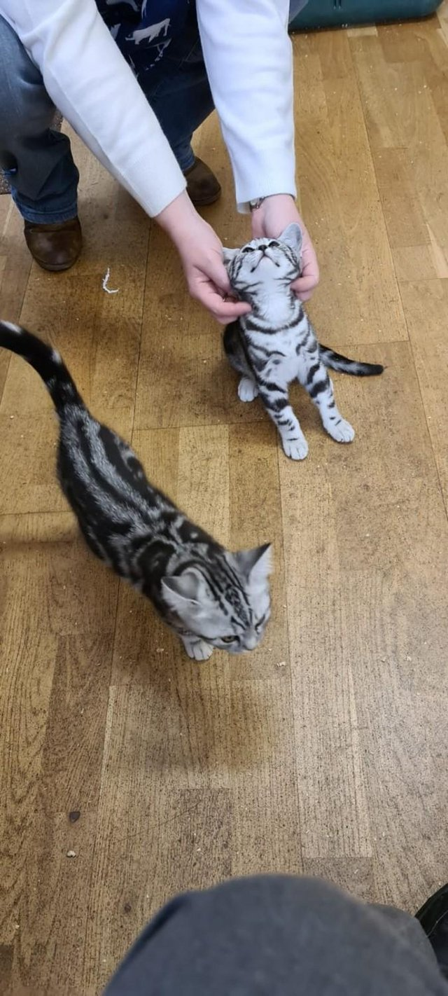 Image 2 of BSH Silver Tabby Kittens Available