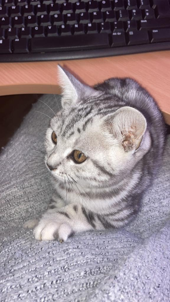 Image 3 of BSH Silver Tabby Kittens Available
