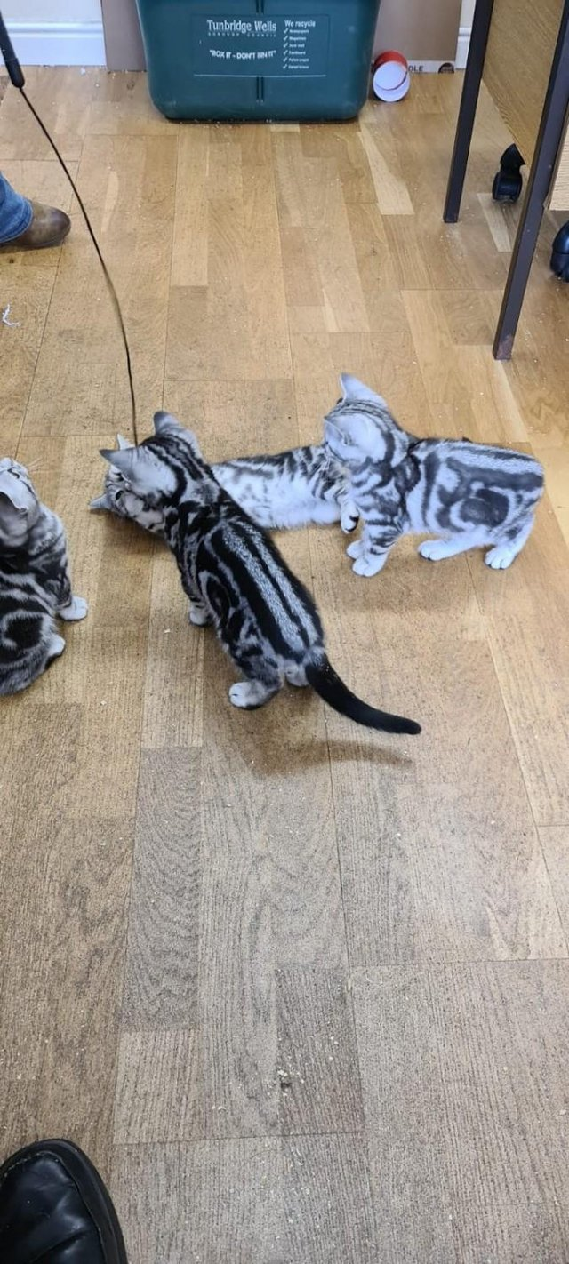 Image 6 of BSH Silver Tabby Kittens Available