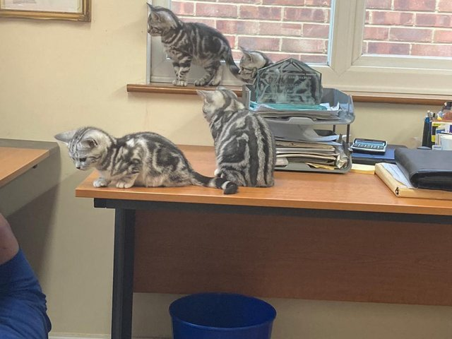 Image 7 of BSH Silver Tabby Kittens Available