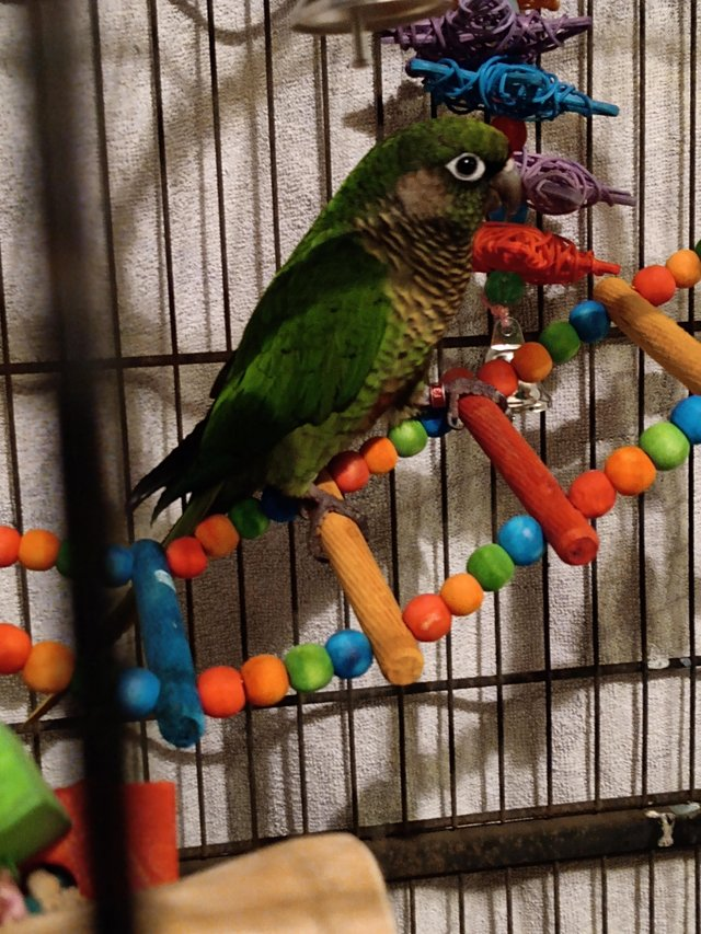 Preview of the first image of Beautiful maroon belly conure.